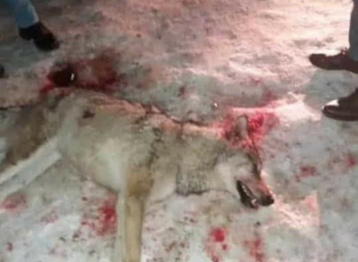 Süphan Dağı'ndan inen kurt bir kadına saldırdı
