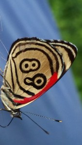 white butterfly with clear black markings and red stain down the inner edge of the wings