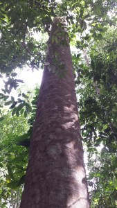 very tall tree in the jungle
