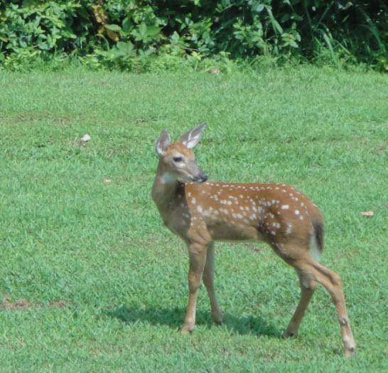 Backyard deer2