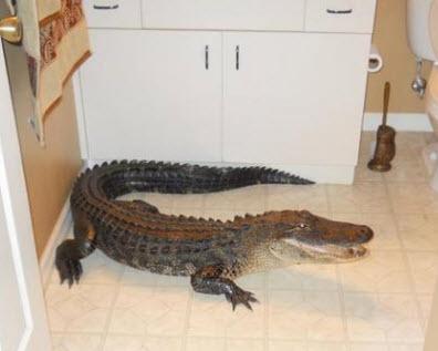 Gator in house
