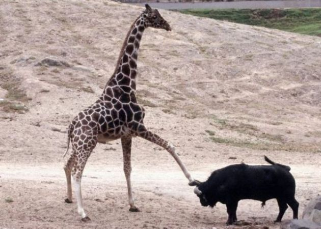 Giraffe and bull