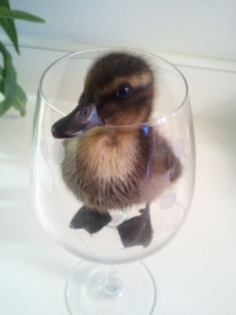 Quack in the glass