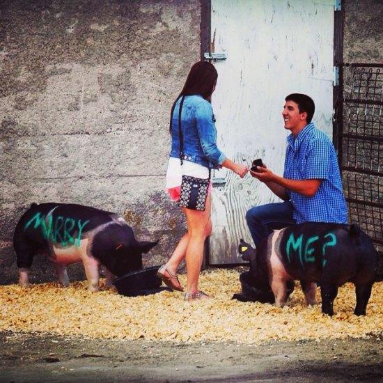 Wedding proposal among pigs