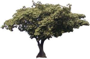 ARBOL PANAMA