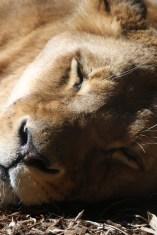 A sleeping lioness