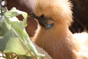 Love fluffy headed chickens
