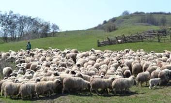 Termen: 24 aprilie este ultima zi în care mai este permisă transhumanţa oilor pe terenuri agricole