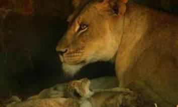 O leoaică învață să-și crească puii uitându-se la filme documentare