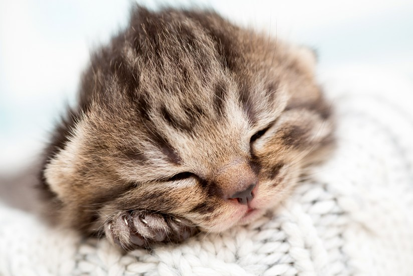 newborn tabby kitten on blanket
