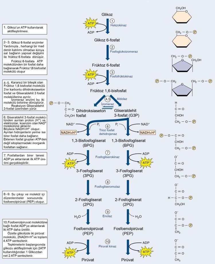 glikoliz seması