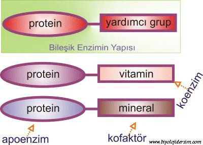 koenzim