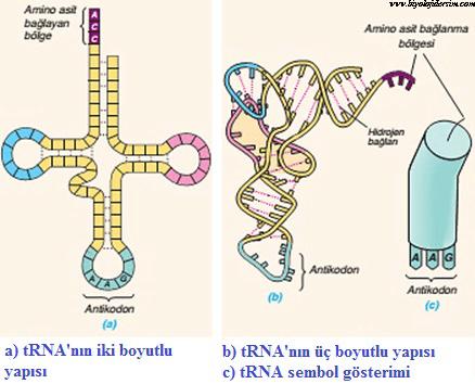 tRNA yapısı