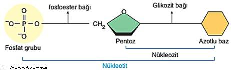 nukleotitler