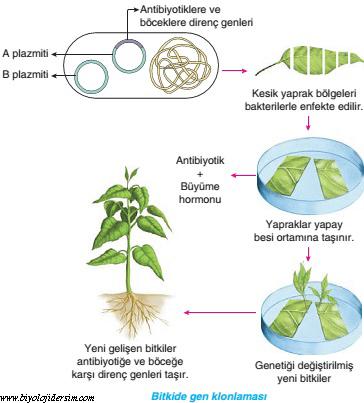 bitkilerde klonlama