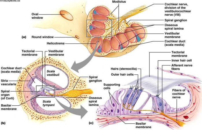 korti organı