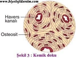 kemik doku yapısı