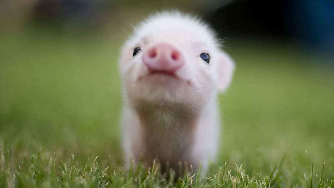 pig-pictures-12