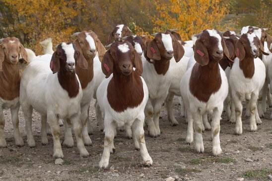 Most Profitable Goats