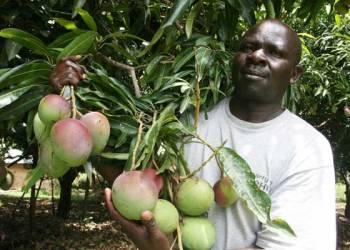 Mango Farming Kenya