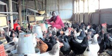 Best Chicken Farms Kenya