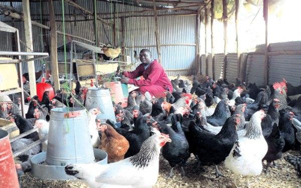 Best Chicken Farms Kenya