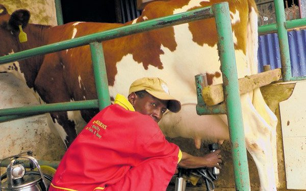 how to feed a dairy cow