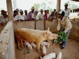 pigs vs goats