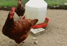 Chicken and its Waterer