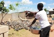 Guinea fowl farmer