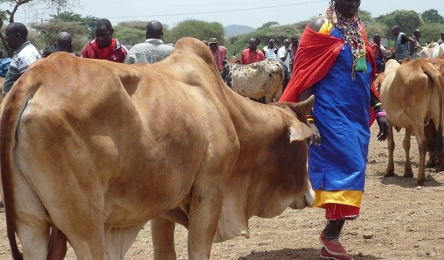 Farming Beef in Kenya