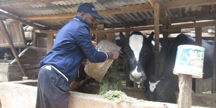 How to Formulate Dairy Rations
