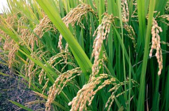 Niger farmers to produce one million tonnes of rice – CBN