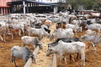 Cattle Herders