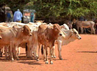 Livestock Industry In Nigeria Is N10trn - Lawan