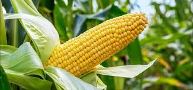 Maize Infestation