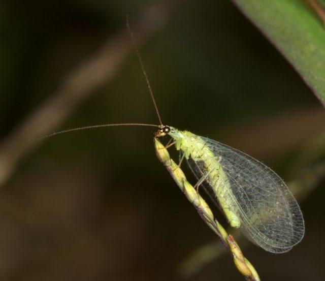 Chrysopa_oculata
