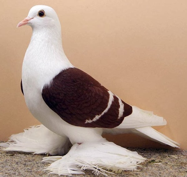 Saxon Swallow Pigeon@6