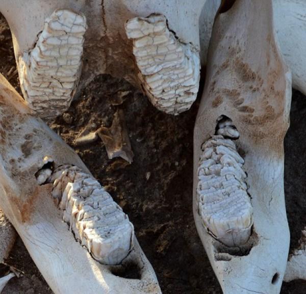 jaw_of_a_deceased_loxodonta_africana_juvenile_individual_found_within_the_voyager_ziwani_safari_camp_on_the_edge_of_the_tsavo_west_national_park_near_ziwani_kenya_3_edited