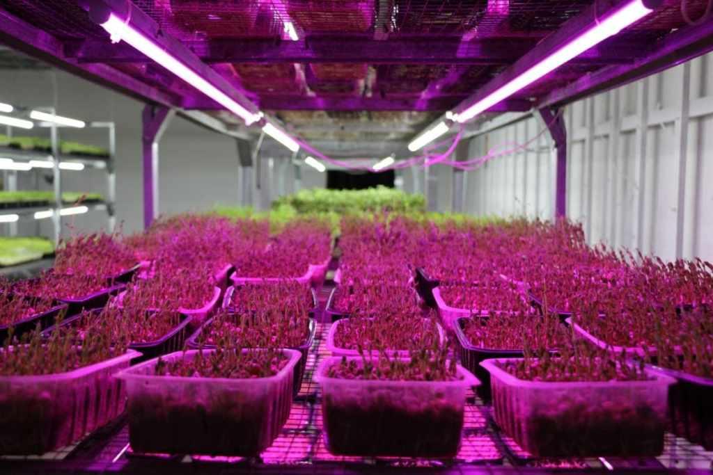 Технологія вирощування мікрозелені