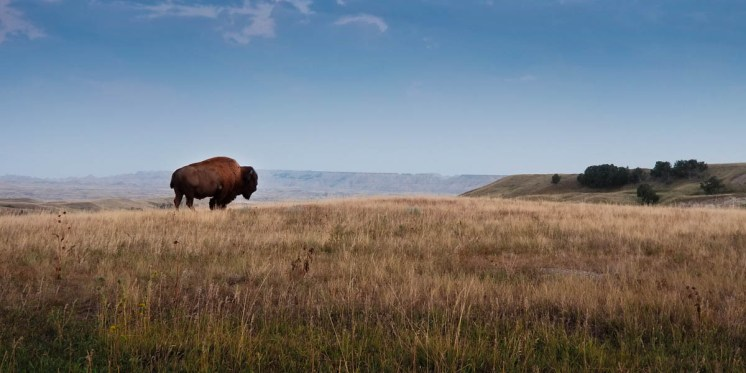 One lone bison. 10 million happy flies.