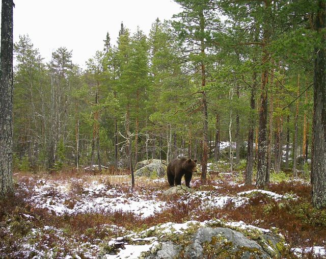 björnsafari i Hälsingland