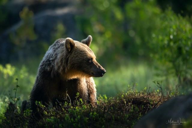 Björnmöte i Hälsingland