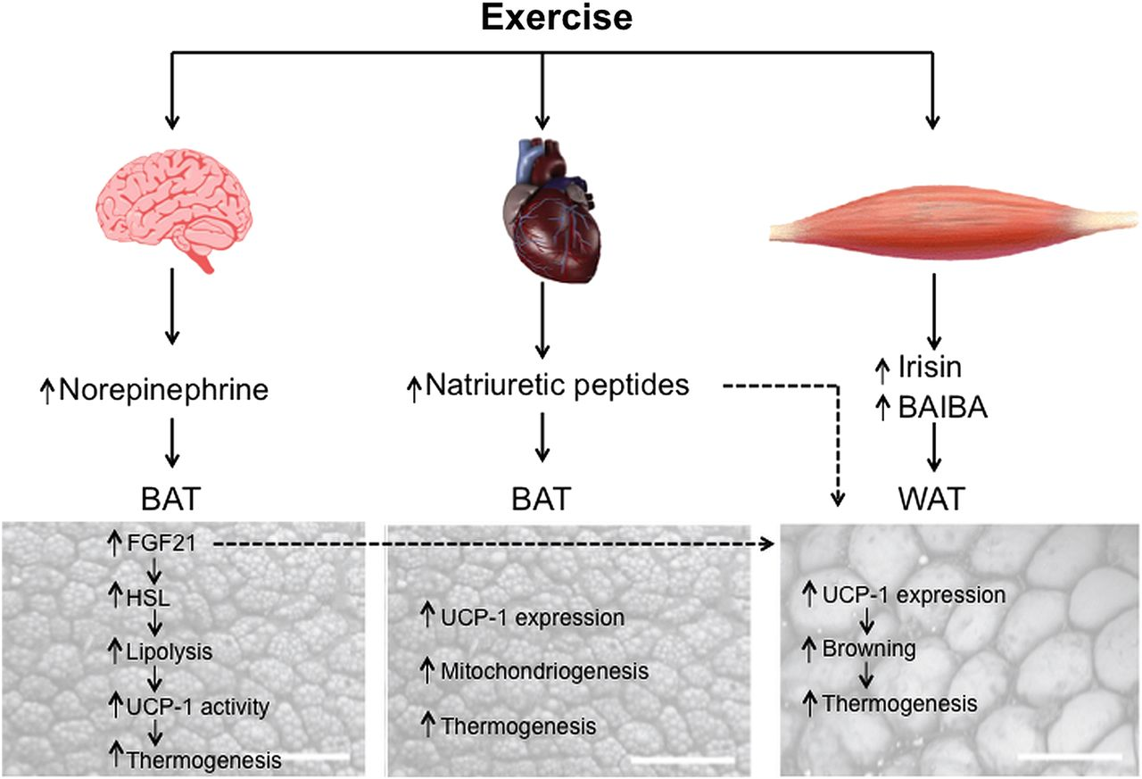 Regulation Of Energy Balance By Brown Adipose Tissue At Least Three Potential Roles For