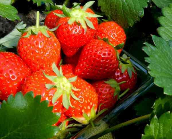 静岡でイチゴ狩りを100%楽しむための10のこと