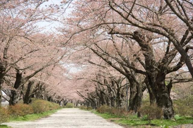 岩手県観光スポットランキング③桜並木がすばらしい「北上市立公園 展勝地」