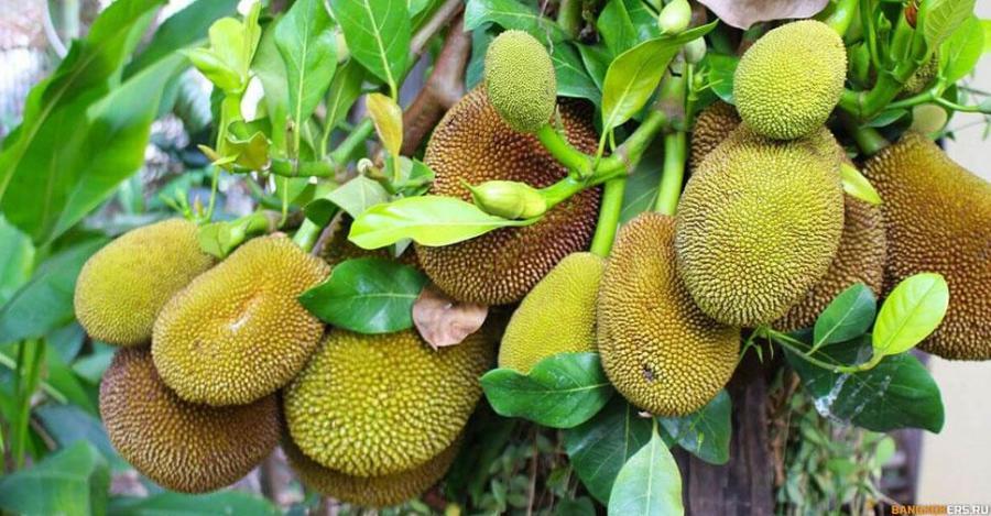 Джекфрут или индийское хлебное дерево