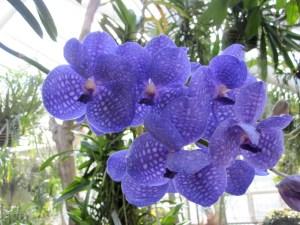 Purple Vanda orchid