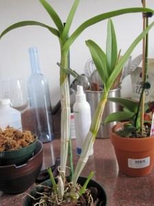 NOID Dendrobium