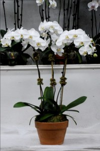 Paradise Plants White Phal